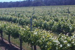 Old Land Vineyard