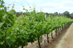 Lionels Vineyard